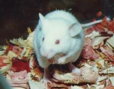 Бессмертные мыши бегут за миллионом долларов