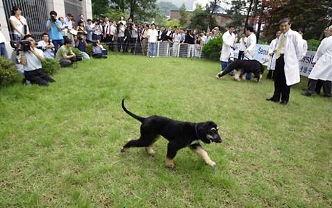 Борзой клон: корейские пионеры впервые копировали собаку
