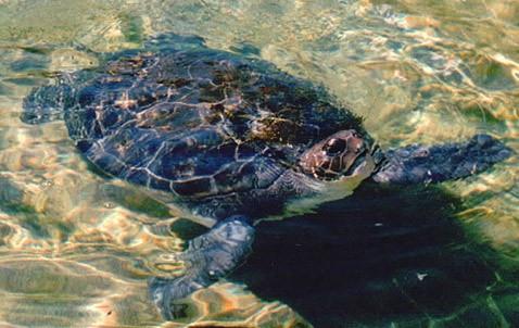 Черепаха-робот мадлен решает вопрос о числе плавников