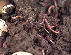 Черви едят мусор, сдабривая фекалиями почву для бизнеса