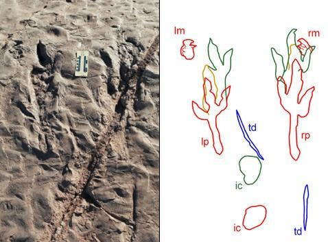 Хищные динозавры могли разворачивать передние конечности по-птичьи