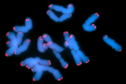 Клетки мышиной печени обойдутся без теломер