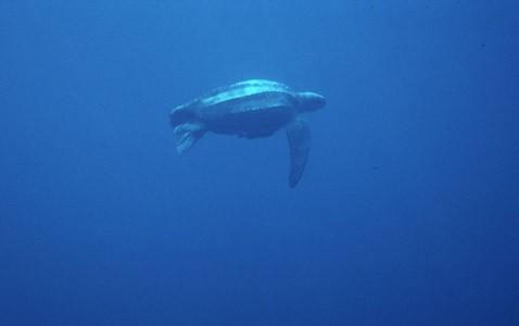 Крупнейшие черепахи плывут на глазах всего интернета