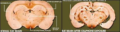 Крысы подтвердили: излучение мобильников повреждает мозг