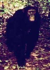 Неизвестный науке зверь: в конго бродит гибрид гориллы и шимпанзе?