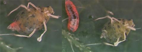 Обнаружен первый в мире сбегающий паразит