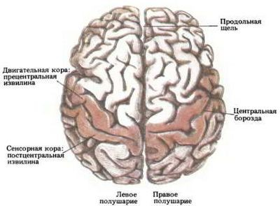 Обнаружена группировка существительных в мозгу человека