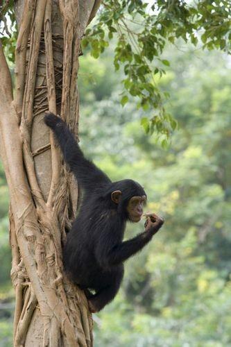 Обширные отличия человека от шимпанзе раскрыты вмусорной днк
