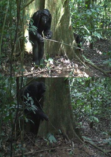 Открыта умная тактика охоты шимпанзе за муравьями