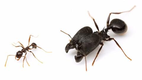 Учёные создали суперсолдат из обычных муравьёв