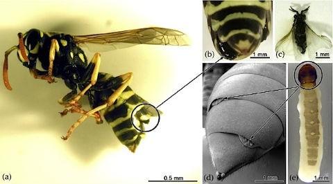 Впервые открыто изменение касты насекомых паразитами
